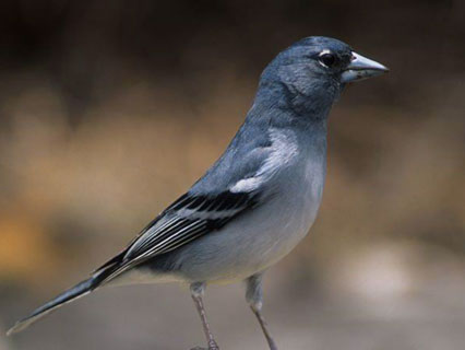 Blue Chaffinch  of  Gran Canaria ((Fringilla polatzeki)