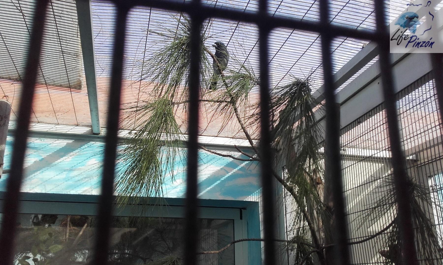 Preparativos Centro de cría pinzón azulAbril 2017