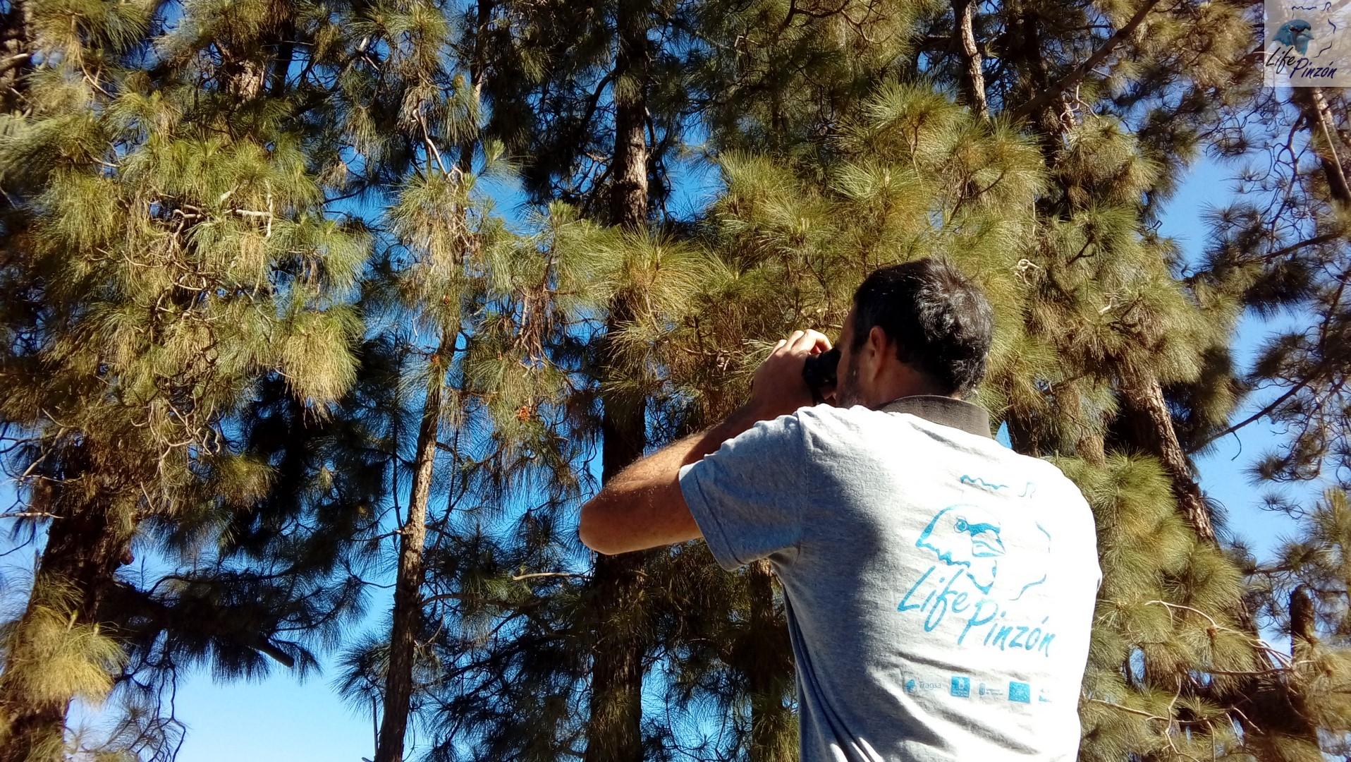 2.-periodo-reproductor-del-pinzon-azul-de-Gran-Canaria