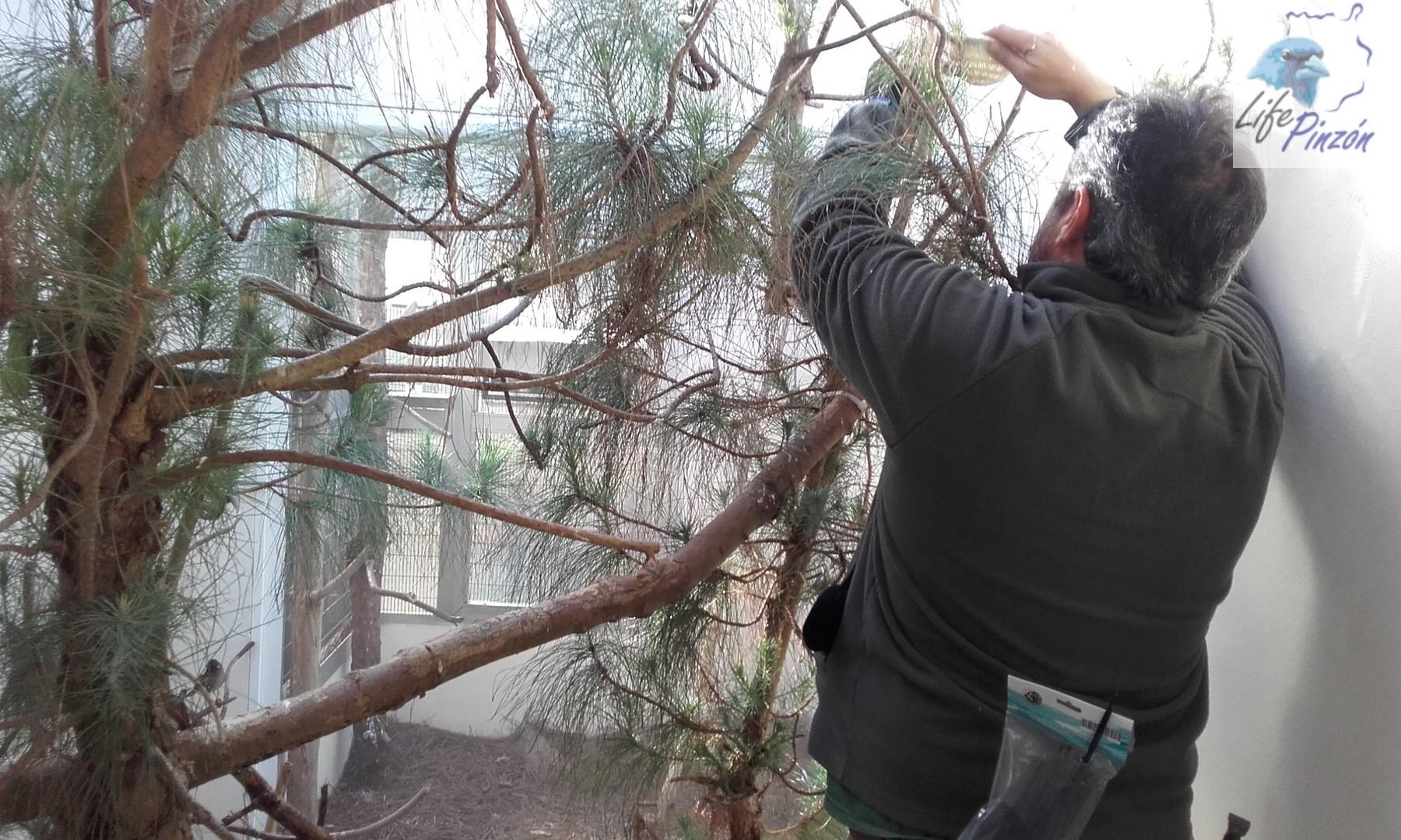 4.-Colocando-los-nidos-centro-de-cria-lifepinzon