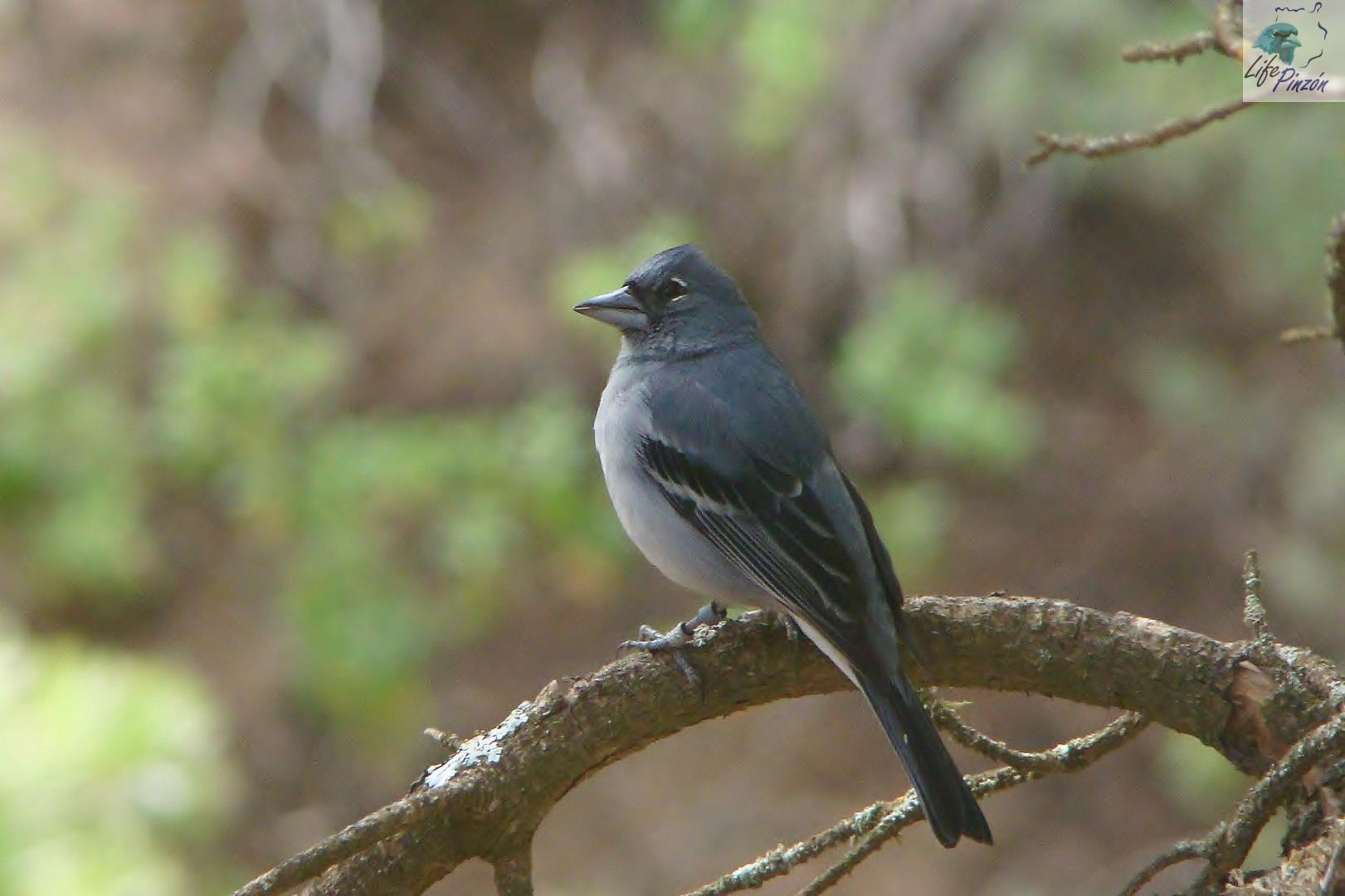 4.-periodo-reproductor-del-pinzon-azul-de-Gran-Canaria