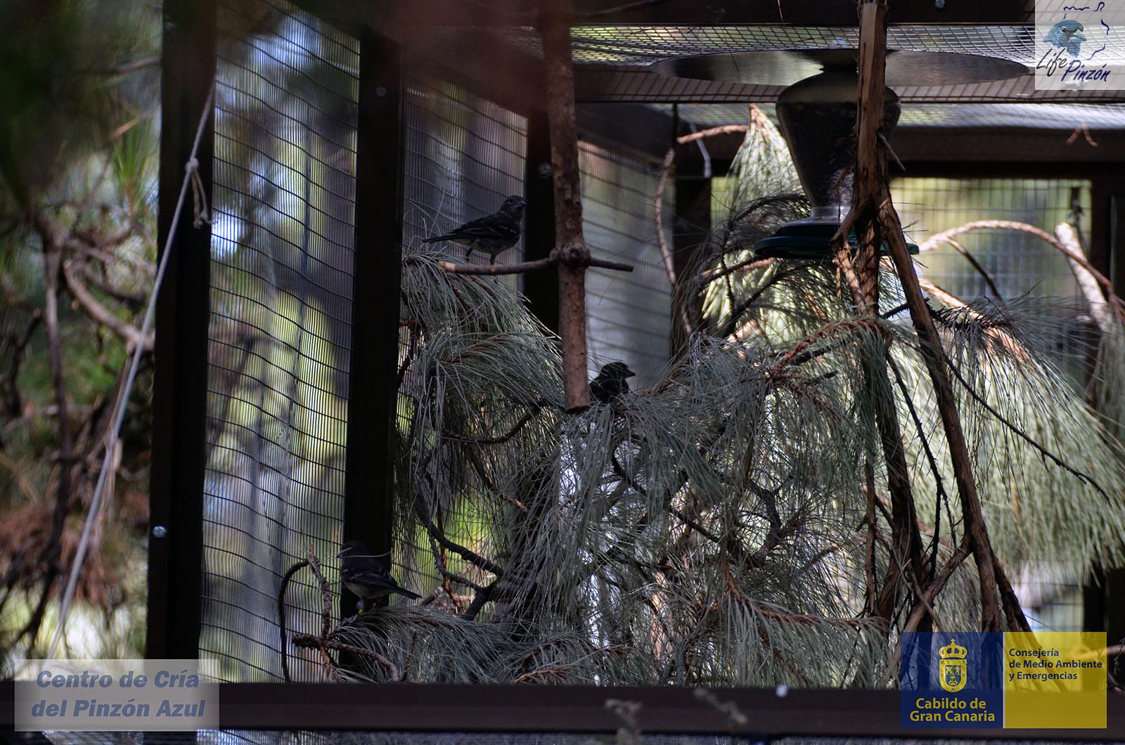 Liberación de pinzones criados en cautividad