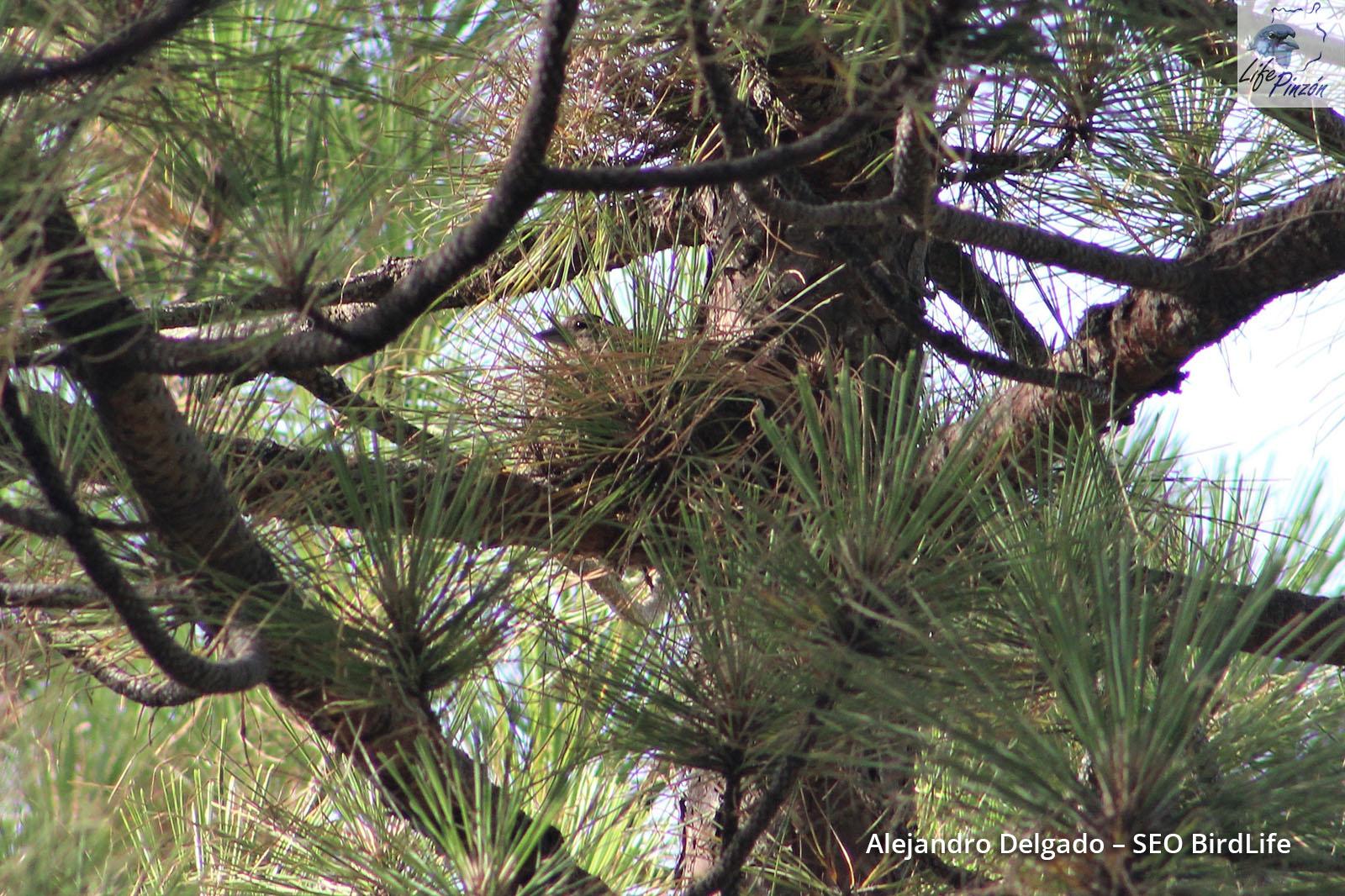 Seguimiento de la reproducción del Pinzón azul de Gran Canaria en los pinares de La Cumbre